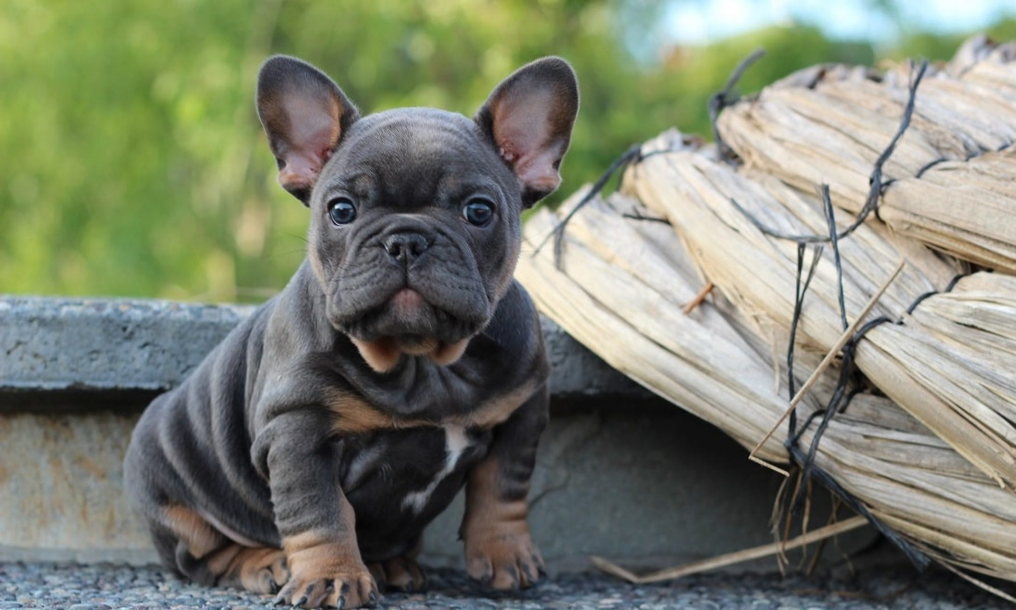 My Exotic French Bulldog Puppies